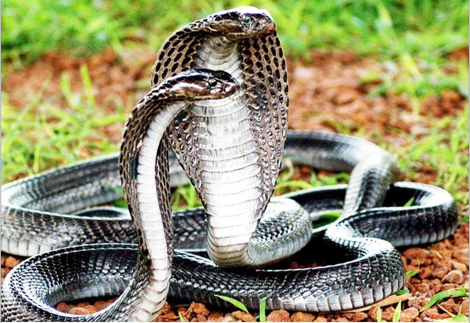 Mơ thấy rắn đánh con gì? Giải mã ý nghĩa giấc mơ thấy rắn