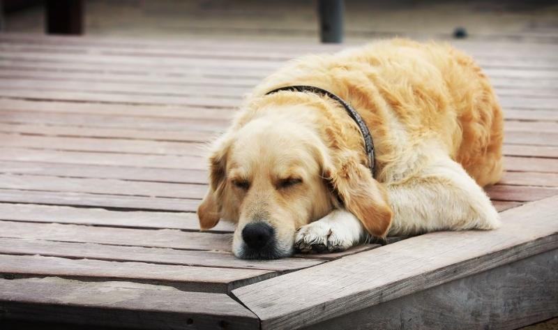Nằm mơ thấy chó là điềm báo gì, hên hay xui?